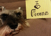 take picture of my pet schnauzers with your message small3