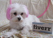 let my Pink Maltese Dog jump through a Pink hoop with your personalized message small3
