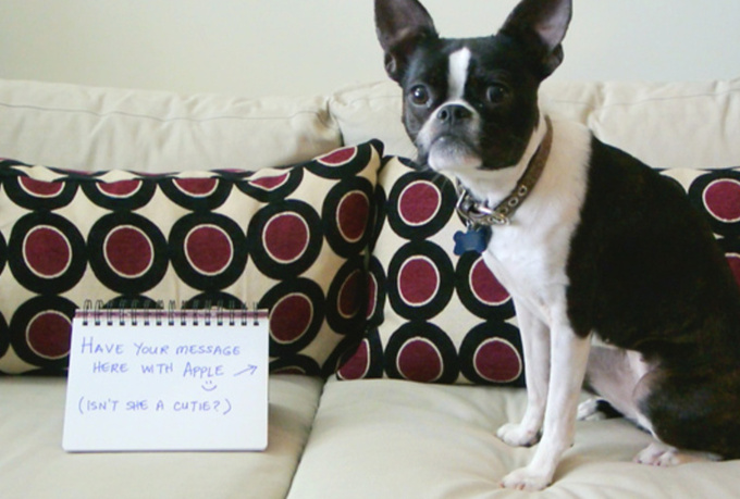 write your message in a photo with my cute Boston Terrier, Apple