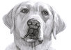 draw your lovely pet in pencil drawing